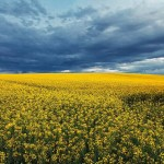 fields of gold © Andrei Cucu