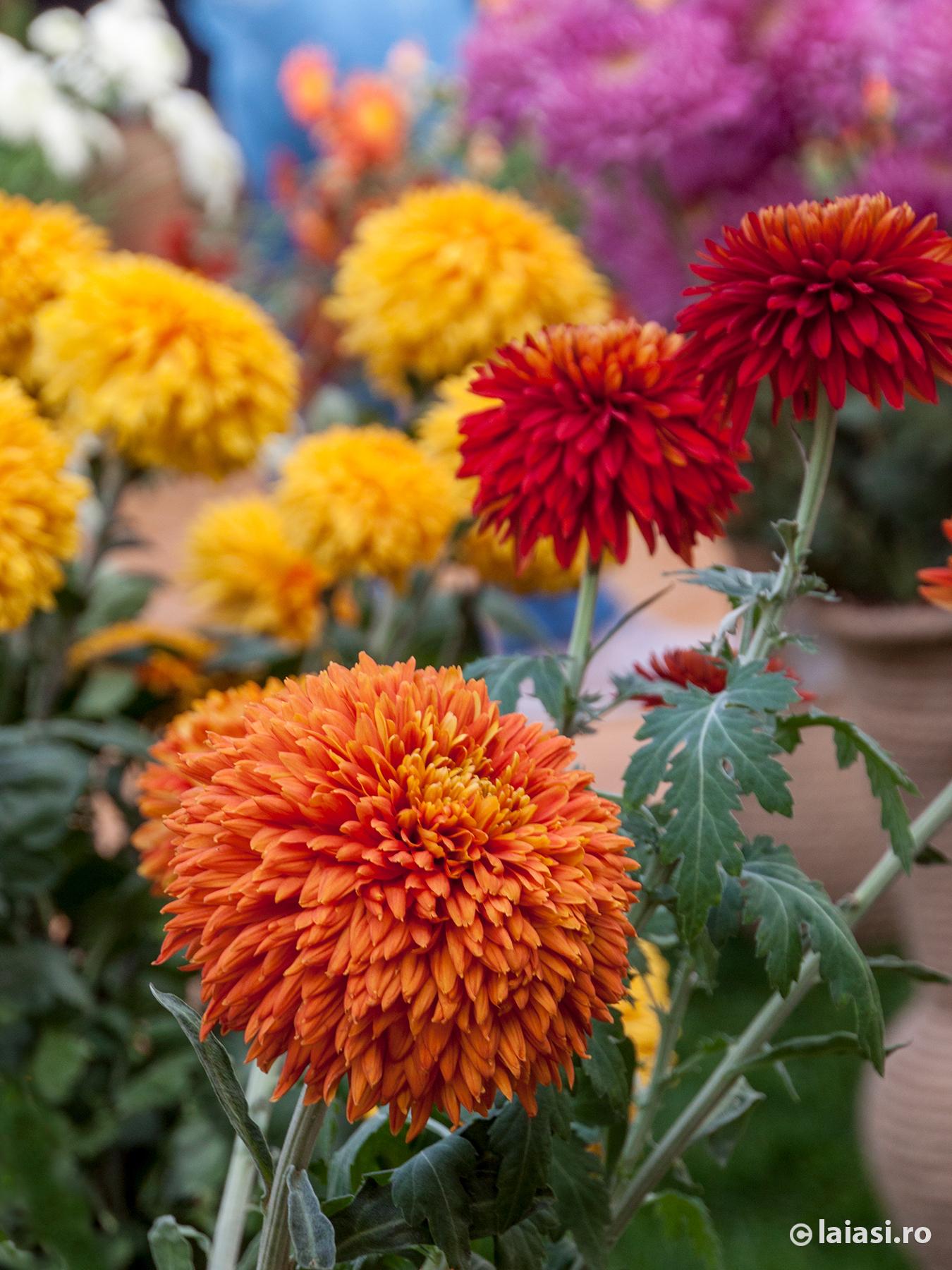 Expoziţia Flori De Toamnă 27 Octombrie 18 Noiembrie